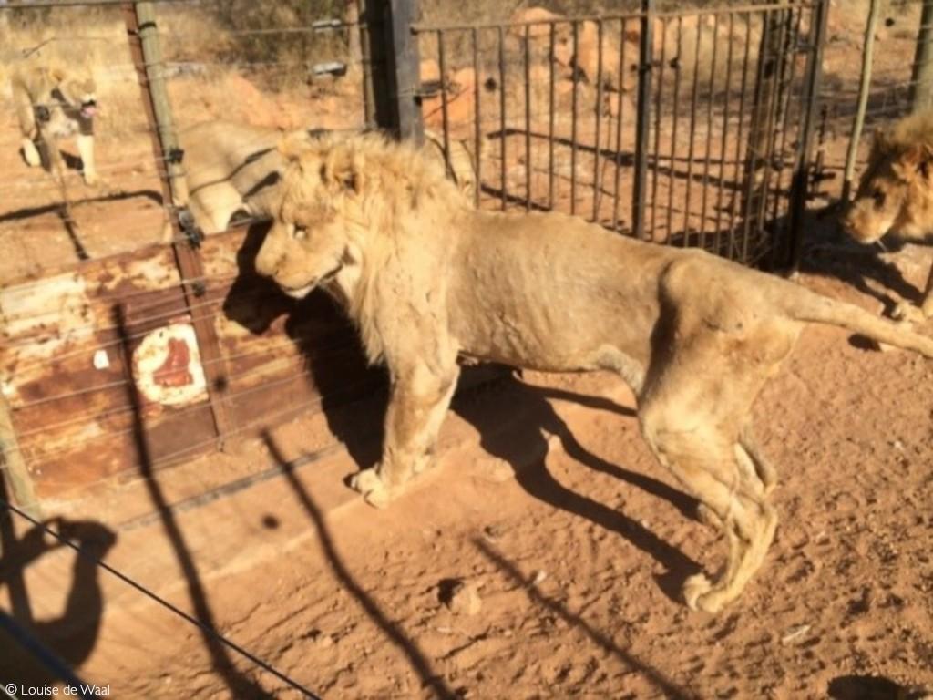 lion breeding