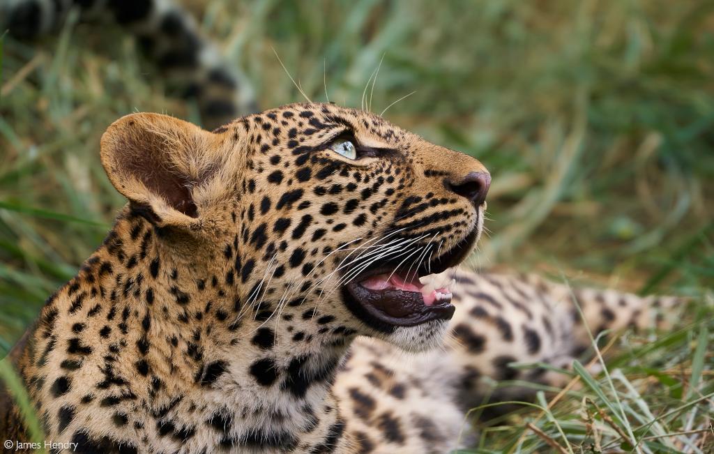 leopard conservation