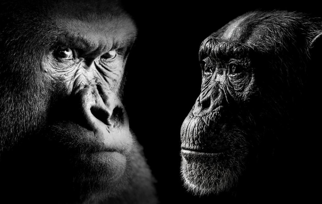 Chimps kill gorilla