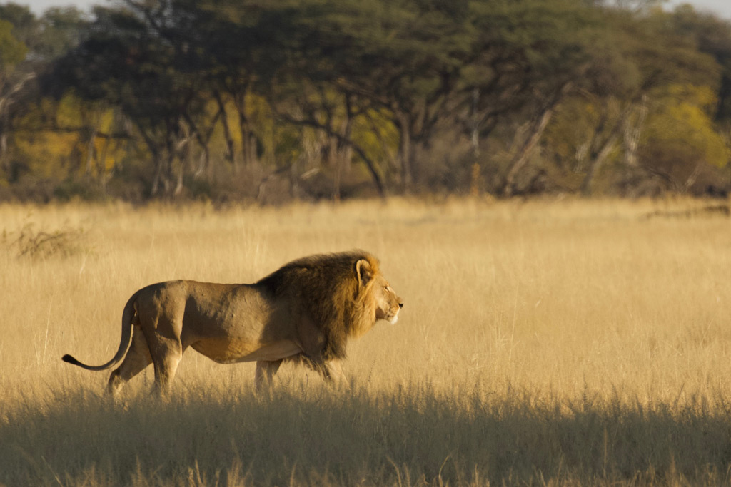 Lion called Mopane