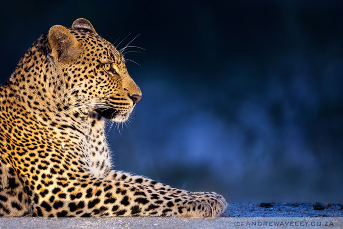 Zimanga-private-game-reserve-leopard