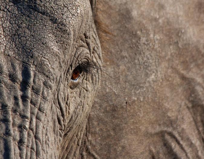 elephant, eye, wildlife